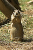 National Zoo - Prairie Dogs 01-01