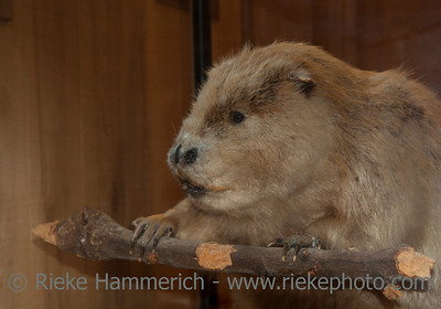 Stuffed Beaver on Branch –Castor canadensis in Canada