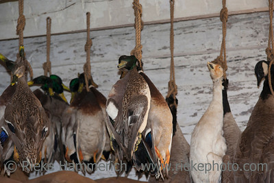 Dead Ducks and Geese hanging – Rural Scene in Canada