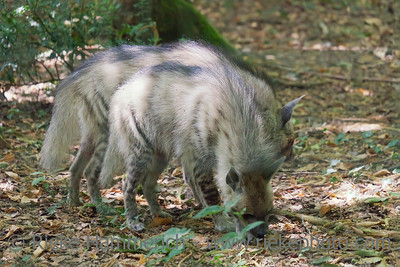 Iberian wolves in forest - Canis lupus signatus