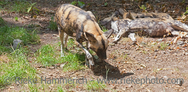 African wild dogs- Lycaon pictus