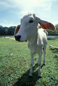 © Joseph Dougherty. All rights reserved.   Brahman calf beside the Tortuguero River in NE Costa Rica.