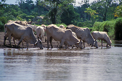 © Joseph Dougherty. All rights reserved.   Brahman cattle drink at the Tortuguero River in NE Costa Rica.