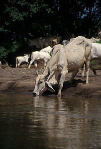 © Joseph Dougherty. All rights reserved.   Brahman bull drinking at the Tortuguero River in NE Costa Rica.