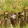 Green and Blue-winged Teal