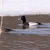 Lesser Scaup (Blue Bill)