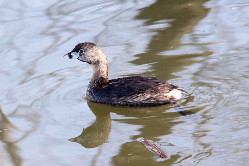 Pied-billed Grebe (Hell Diver)