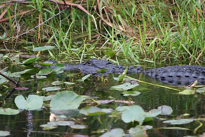"Common Name: American Alligator  Scientific Name: Alligator Mississippians   COMMON NAMES: American alligator, Mississippi alligator, Pike-headed alligator, ""gator""  NAME ETYMOLOGY: Alligator is derived from the Spanish el lagarto which means ""the lizard"""