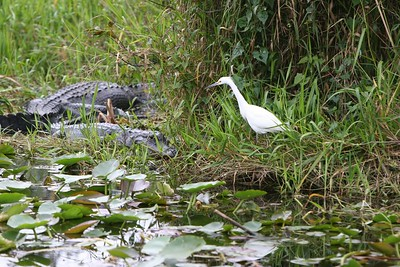 This Egret was wandering precariously close to the business end of a young alligator.  5 min. after this picture was taken the Egret paid the ultimate price for his/her curiosity and became lunch.  All of the birds in the vicinity gave out with a squak when it happened.
