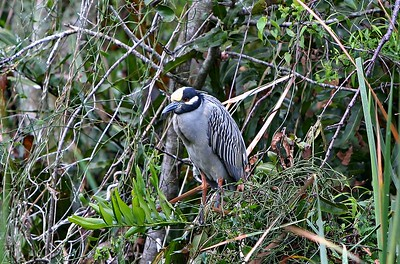 Yellow-crowned night-heron Nyctanassa violacea   --------------------------------------------------------------------------------  Identification Tips: Length: 21 inches Wingspan: 44 inches  Sexes similar  Fairly small, long-legged, short-necked heron  Tucks neck in close to body in flight and often at rest, rarely extending it  Black bill  Leg color varies with age, as with Black Crowns  Long legs, with feet and part of legs extending beyond tail in flight  Adult:   Red eyes  Blue-gray neck, chest, back and belly  Dark centers to back feathers  Pale yellowish forehead and buffy-white crown  Black face and chin with broad white auricular stripe  Juvenile:   Eyes yellowish to amber  Head, neck, chest and belly dark gray-brown streaked finely with buff and white  Darker cap  Wings and back darker brown with small white spots at the tips of the feathers  Greater secondary coverts with crisp white edgings and small spots at tips  Immature:   Gradually acquires adult plumage over 2 years, losing spotting and streaking and gradually acquiring face and body plumage of adult