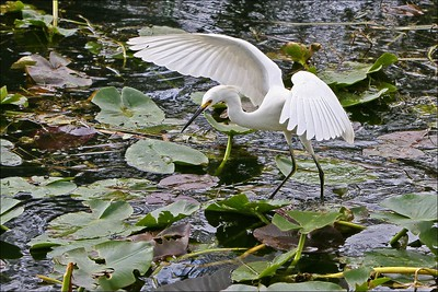 white egret hunting on lily pads wings spread