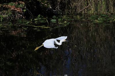 Snowy egret Egretta thula in flight against dark water background.