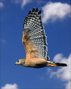 Red-shouldered hawk Buteo lineatus in flight right to left against blue sky and clouds, vertical crop.  ISO 1250 f32,  1/1300 sec.,  Canon 100-400 at 200,