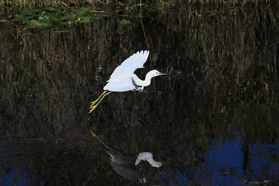 Snowy egret Egretta thula in flight left to right with water reflection.
