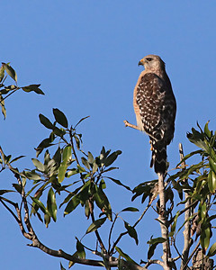 Red-shouldered hawk Buteo lineatus Lens (mm): 400 ISO: 1600 Aperture: 8 Shutter: 1/8000 Exp. Comp.: 0.0