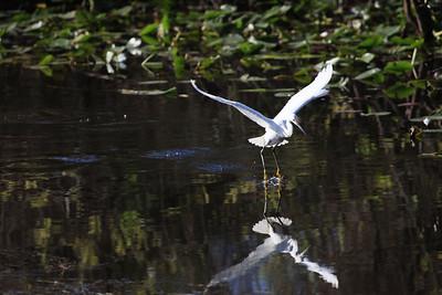 Snowy egret Egretta thula lift off.
