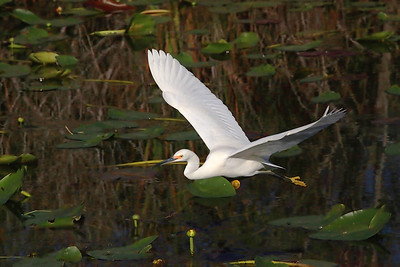 Snowy egret Egretta thula in flight right to left over water and lily pads.  Lens (mm): 300 ISO: 3200 Aperture: 20 Shutter: 1/8000 Exp. Comp.: -0.7