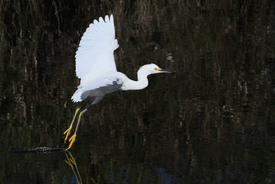 Snowy egret Egretta thula skimming water with right foot.