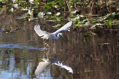 Snowy egret Egretta thula water walking.