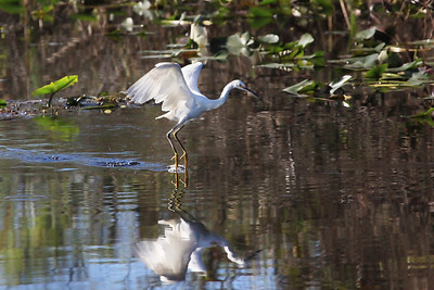 Snowy egret Egretta thula at lift off with both feet touching water.