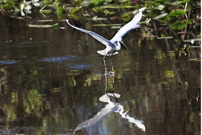 Snowy egret Egretta thula walking on water for lift-off.  Reflection in water.