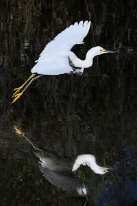 Snowy egret Egretta thula wings spread in flight with water reflection.