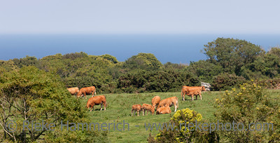 Cattles grazing on meadow near sea - La Hague, Basse Normandy, France, Europe