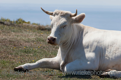 Portrait of a white cow in front of sea - Jobourg, Basse Normandy, France, Europe