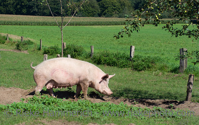 Healthy pig on meadow - Marl, North Rhine Westfalia, Germany