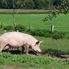 Healthy pig on meadow - Marl, North Rhine Westfalia, Germany