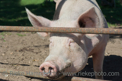 Pig looking through fence - Marl, North Rhine Westfalia, Germany