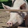 Pig looking through fence - Marl, North Rhine Westfalia, Germany