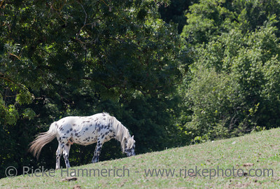 Appaloosa grazing on meadow - Equus ferus caballus