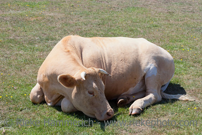 Cow with horns relaxing on meadow - Jobourg, Basse Normandy, France, Europe