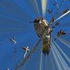 Feathered Friends  Northern Flicker