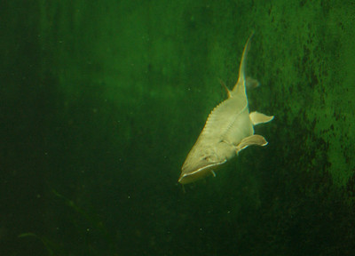 "© Joseph Dougherty. All rights reserved.  Acipenser fulvescens   (Rafinesque, 1817)  Lake Sturgeon   This sturgeon is a valuable gourmet food fish, as well as source of specialty products including caviar and isinglass. The exploitation of the sturgeon typifies human exploitation of large animals in general. ""In 1860, this species, taken on incidental catches of other fishes, was killed and dumped back in the lake, piled up on shore to dry and be burned, fed to pigs, or dug into the earth as fertilizer.""  It was even stacked like cordwood and used to fuel steamboats. Once its value was realized, ""They were taken by every available means from spearing and jigging to set lines of baited or unbaited hooks laid on the bottom to trapnets, poundnets and gillnets."" Over 5 million pounds were taken from Lake Erie in a single year. The fishery collapsed, largely by 1900. They have never recovered. Like most sturgeons, the lake sturgeon is rare now, and is protected in many areas.  In addition to overharvesting, it has also been negatively affected by pollution and loss of migratory waterways. It is vulnerable to population declines through overfishing due to its extremely slow reproductive cycle; most individuals caught before twenty years of age have never bred and females spawn only once every four or five years. The specific harvesting of breeding females for their roe is also damaging to population size. Few individuals ever reach the extreme old age or large size that those of previous generations often did."