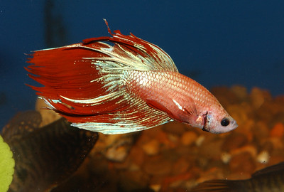 "© Joseph Dougherty. All rights reserved.  Betta splendens   Regan, 1910 Siamese Fighting Fish aka Betta  The name of the genus is derived from ikan bettah, taken from a local dialect of Malay. The wild ancestors of this fish are native to the rice paddies of Thailand, Malaysia, Cambodia and Vietnam and are called pla-kad (lit. ""biting fish"") in Thai or trey krem in Khmer.  B. splendens usually grow to an overall length of about 3 inches, including fins. Although known for their brilliant colors and large, flowing fins, the natural coloration of B. splendens is a dull green and brown, and the fins of wild specimens are relatively short. Brilliantly colored and longer finned varieties (i.e. Veiltail; Delta; Superdelta; and Halfmoon) have been developed through selective breeding."