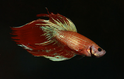 © Joseph Dougherty. All rights reserved.  Betta splendens   Regan, 1910 Siamese Fighting Fish aka Betta  The people of Siam and Malaya (now Thailand and Malaysia) are known to have collected these fish prior to the 19th century.  In the wild, bettas spar for only a few minutes or so before one fish backs off. Bred specifically for fighting, domesticated betta matches can go on for much longer, with winners determined by a willingness to continue fighting. Once one fish retreats, the match is over. Large amounts of money are wagered during these fights, with potential losses as great as a person's home.  Seeing the popularity of these fights, the king of Siam started licensing and collecting these fighting fish. In 1840, he gave some of his prized fish to a man who, in turn, gave them to Dr. Theodor Cantor, a medical scientist. Nine years later, Dr. Cantor wrote an article describing them under the name Macropodus pugnax. In 1909 the ichthyologist Charles Tate Regan, realizing that there was already a species with the name Macropodus pugnax, renamed the domesticated Siamese fighting fish Betta splendens.