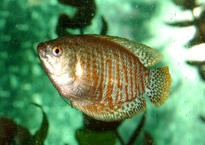 © Joseph Dougherty. All rights reserved.  Trichogaster lalius  (Hamilton, 1822) Dwarf Gourami  The dwarf gourami originally came from South Asia; it originates from Pakistan, India and Bangladesh. However, it has also been widely distributed outside of its native range. This fish inhabits slow-moving streams, rivulets, and lakes with plenty of vegetation.  In its native range it is dried for food, and it is also kept as an aquarium fish. It has become highly popular for aquaria.  Like all gouramis, the dwarf gourami is a labyrinth fish. That is, dwarf gouramis can breathe oxygen from the air through their labyrinth organ (like the betta) if necessary. It is important, therefore that the surface of the water be exposed to fresh air.