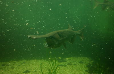 © Joseph Dougherty. All rights reserved.  Polyodon spathula   (Walbaum in Artedi, 1792)  American Paddlefish aka Mississippi Paddlefish, Spoonbill, or Spoonie  Though the American paddlefish was once common throughout the Midwest, overfishing and habitat changes have caused major population declines; both the meat and roe of Polyodon spathula are desirable as food. Dams and other barriers can prevent the fish from recolonizing places where they once occurred and can deny them access to important critical habitats such as spawning areas. Until about 1900, the species was also found in Lake Erie and in river systems tributary thereto in the U.S. and Canada. Invasive species such as zebra mussels have reduced the number of zooplankton in the Great Lakes to such low levels that any hypothetical reintroduction program would seem likely to fail.