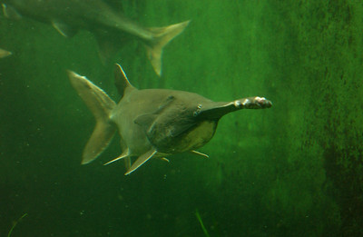 © Joseph Dougherty. All rights reserved.  Polyodon spathula   (Walbaum in Artedi, 1792)  American Paddlefish aka Mississippi Paddlefish, Spoonbill, or Spoonie  The American paddlefish, Polyodon spathula, also called the Mississippi paddlefish or spoonbill, is a paddlefish living in slow-flowing waters of the Mississippi River drainage system. It appears to have been extirpated from Lake Erie and its tributaries. They are closely related to the sturgeons. This large Chondrostean freshwater fish may grow to 220 cm (7 feet) and weigh up to 100 kg (220 pounds). The paddlefish takes its common and scientific names from its distinctive snout, which is greatly elongated and flattened into a paddle shape. The American paddlefish is believed to use sensitive electroreceptors on its paddle to detect prey, as well as to navigate while migrating to spawning sites. The American paddlefish feeds primarily on zooplankton but also feeds on crustaceans and bivalves. Polyodon spathula is one of two living species of Paddlefish; the other is the possibly extinct Chinese Paddlefish, Psephurus gladius.