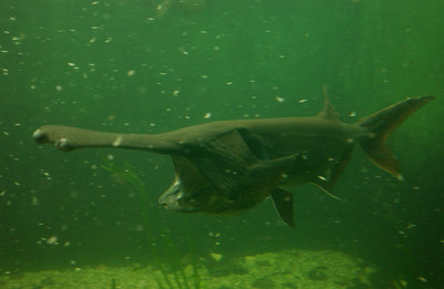 "© Joseph Dougherty. All rights reserved.  Polyodon spathula   (Walbaum in Artedi, 1792)  American Paddlefish aka Mississippi Paddlefish, Spoonbill, or Spoonie  Paddlefish (family Polyodontidae) are primitive Chondrostean ray-finned fishes. The paddlefish can be distinguished by its large mouth and its elongated, spatula-like snout, called a rostrum, which is longer than the rest of the head. These fish are not closely related to sharks, which are in a different taxonomic class, but they do have some body parts that resemble those of sharks such as their skeletons, primarily composed of cartilage, and their deeply forked heterocercal tail fins. This type of fish's age is hard to determine but many scientists[who?] think that they live 50 years or more.  There are only two modern species of these fish: the Chinese paddlefish (Psephurus gladius) and the American paddlefish (Polyodon spathula). Both have declined greatly in abundance, and the Chinese species may now be extinct. In some areas, paddlefish are referred to as ""Spoonbill"", ""Spoonies"" or ""Spoonbill Catfish"". The American species is Missouri's State Aquatic Animal."