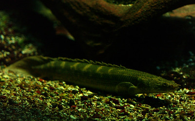 © Joseph Dougherty. All rights reserved.  Polypterus delhezi Boulenger, 1899 Bandback Bichir aka Armored Bichir  Found in the Congo River basin of Africa.   The armored bichir or banded bichir (Polypterus delhezi) is a snake-like fish that ranges from the Congo River, specifically in the upper and middle portions. This species is one of the more commonly available in commercial pet stores.