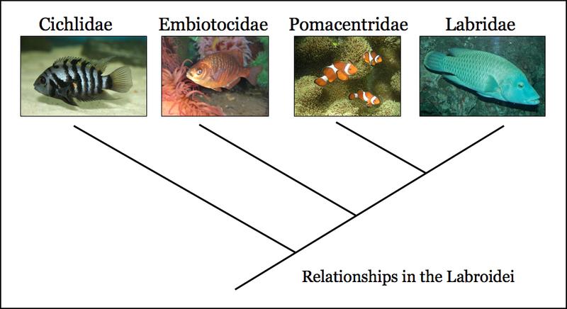 Cichlids (Cichlidae)