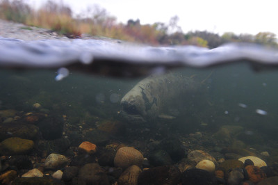 © Joseph Dougherty. All rights reserved.  Oncorhynchus tshawytscha  (Walbaum, 1792) Chinook Salmon  Worn-out salmon on the spawning grounds, nearing the end of its time.