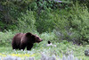 Grizzly Bear @ Grand Teton NP, WY - June 2011
