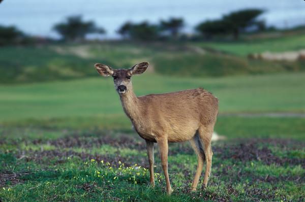Cervids (Deer, Elk)