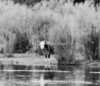 Hereford at River Dreamscape BW