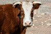 Cow_img_1863_West_04212013