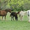 2010, 04-17 b  Horses (105)